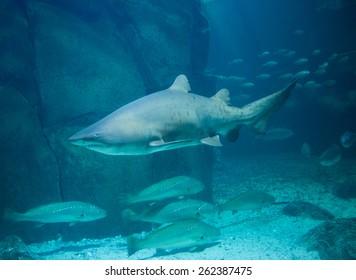Shark swimming in fish tank at the aquarium