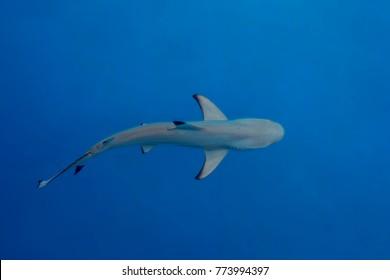 Shark under water,big predator fish
