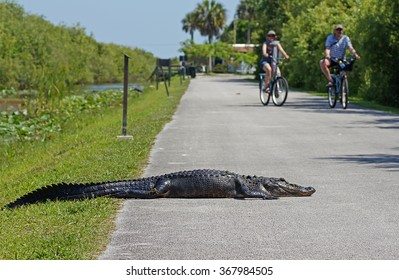SHARK VALLEY, FLORIDA, USA - 9 MAY 2013 - Tourists cycling past american alligator laying on bicycle path at Shark Valley in the Everglades National Park