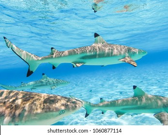 Sharks and Arraias on Bora Bora Island in French Polynesia during snorkeling on this island paradise and turquoise blue water. Ocean Pacific.