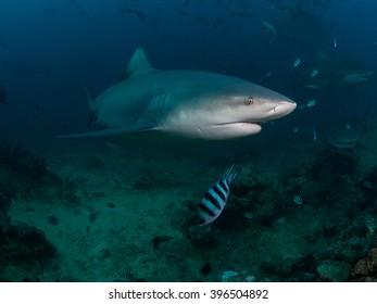 Sharks of Beqa Lagoon Fiji