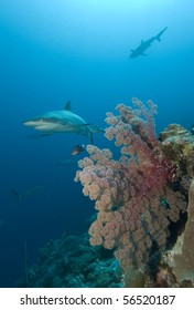 Sharks and coral reef