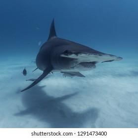 Sharks diving Bimini