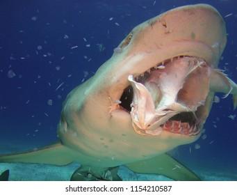 Sharks Eating Fish