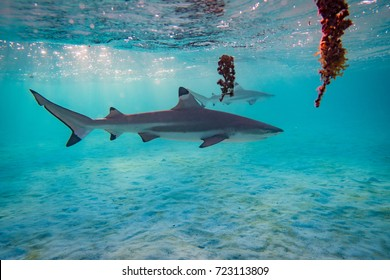 Sharks in the evening light in the lagoon of Moorea.