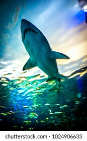 Sharks are a group of elasmobranch fish characterized by a cartilaginous skeleton, five to seven gill slits on the sides of the head, and pectoral fins that are not fused to the head.