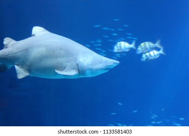 Sharks are a group of elasmobranch fish characterized by a cartilaginous skeleton, five to seven gill slits on the sides of the head, and pectoral fins that are not fused to the head