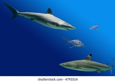 Sharks including Blacktip Reef Shark (Carcharhinus melanopterus) and Grey Reef Shark (Carcharhinus amblyrhynchos)