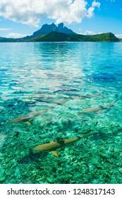 Sharks in turqoise water of Bora Bora, Tahiti