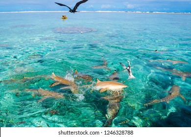 Sharks in turquoise water of Bora Bora with birds