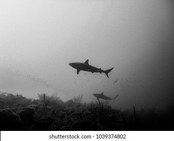 Sharks underwater and silhouettes. This gray or black tip sharks are common in the warm waters of the Caribbean sea.