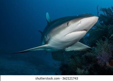 Shark,underwater picture, South Africa