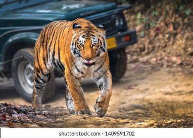 Sharmili Tigress Bijrani zone Jim Corbett India