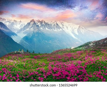 The sharp Alpine peaks of Mont Blanc with snow and glaciers soar above the spring meadows, where rhododendrons bloom - delicate fragrant spring flowers