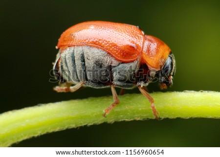 sharp detail portrait june beetle scarabaeidae stock photo edit now