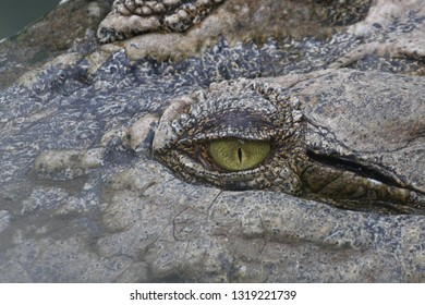 sharp eye of a crocodile's