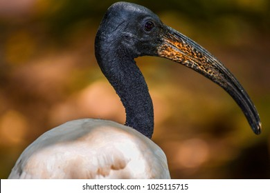 A sharp Headshot of a beautiful black necked stork shot on a sunny afternoon in a park in Malaysia. These birds are mostly found in the tropical regions of south-east Asia.