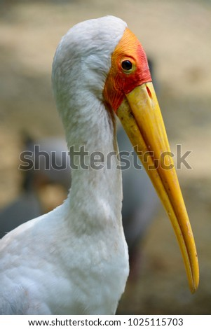 A sharp Headshot of a painted stork with its long yellow beak shot on a sunny afternoon in a park in Malaysia. These birds are mostly found in the tropical regions of south-east Asia.