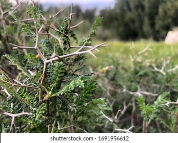 sharp, long thorns and green leaves for wild plant called Prickly Shrub Burnet