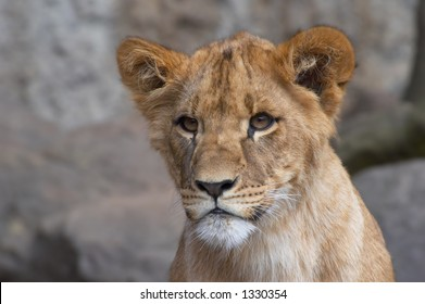 Sharp looking young lion