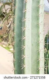 Sharp needles of a Cactus trunk in Garden