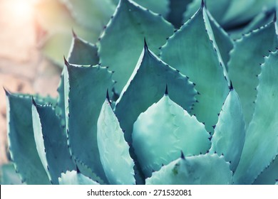 Sharp pointed agave plant leaves