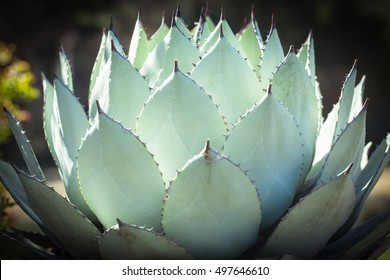 Sharp pointed agave plant leaves pattern
