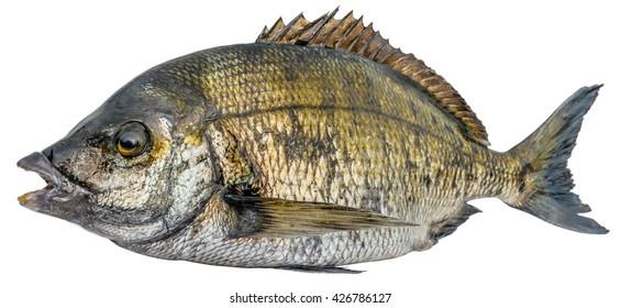 Sharp Snout Sea Bream fish (Diplodus puntazzo, Sparidae) isolated on white background. Beautiful edible fish. Black Sea.
