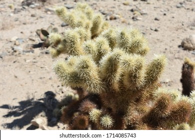 Sharp spines covering a cholla cactus in the desert.