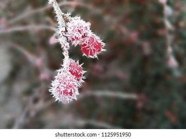 Sharp spines of ice in the rosehip