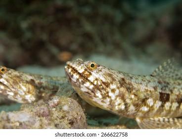 sharp teeth lizard fish are always attentive