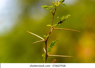 Sharp thorn of Vachellia nilotica or known as babul, Kiker plant in India