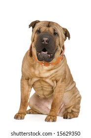 Sharpei (2 years) in front of a white background
