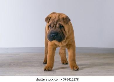 Sharpei dog. 3 months, shar pei puppy
