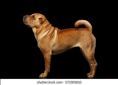 Sharpei Dog Standing on Isolated Black Background, Side view