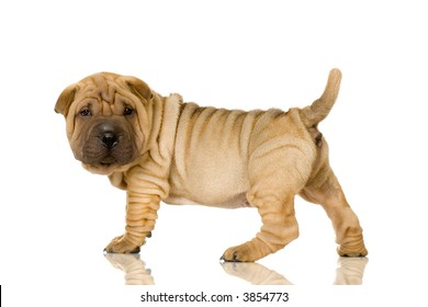 Sharpei in front of a white background