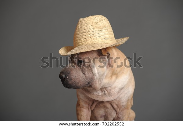 Sharpei on a gray background in a straw hat