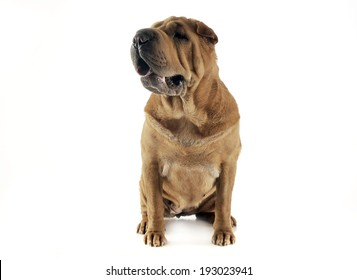 Shar-pei staying in the white studio