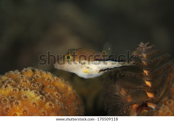 Sharpnose Puffer (Canthigaster rostrata) Swimming Over a Coral Reef next to a Christmas Tree Worm - Bonaire