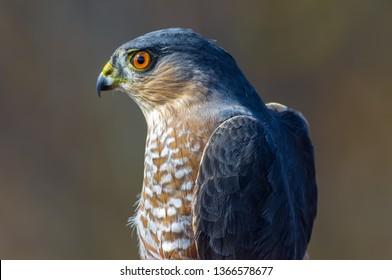 Sharp-shinned hawk portrait taken during Fall bird migrations at Hawk Ridge Bird Observatory in Duluth, Minnesota