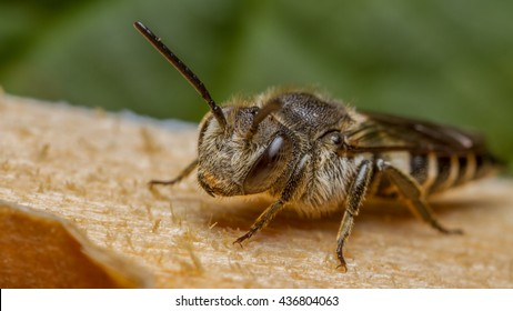 Sharp-tailed Bee (Coelioxys species) bee, a cleptoparasite on Megachile species leaf-cutter bees