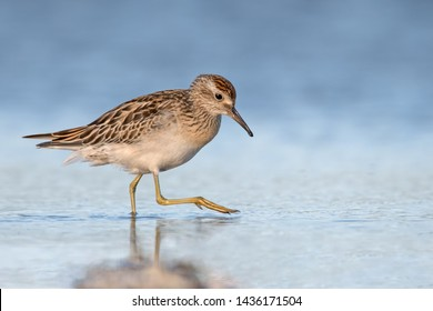 Sharp-tailed Sandpiper shorebird wading in the shallow coastal waters in Queensland