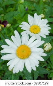 Shasta daisies after a rain with green background