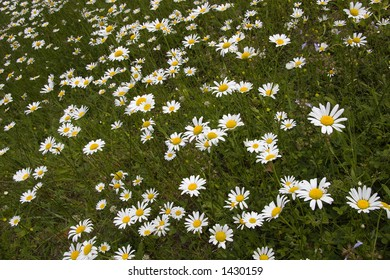 Shasta Daisies at a Different Angle