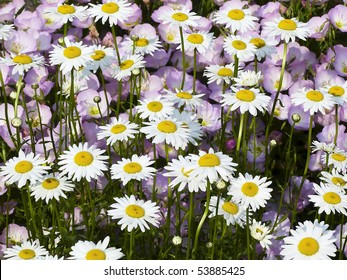 Shasta Daisies with pink Mexican Primrose Behind