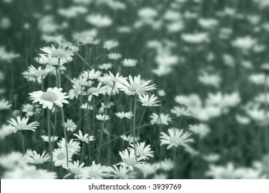 Shasta Daisies with a Vignette Blur in a Teal Duotone