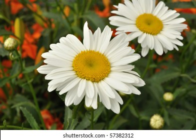 Shasta Daisy or Alaska Daisy (leucanthemum superbum)