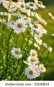 shasta daisy flowers under soft sunset lights