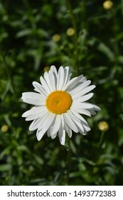 Shasta daisy Gigant - Latin name - Leucanthemum maximum Gigant