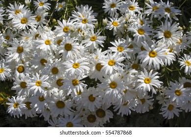 Shasta daisy Leucanthemum  superbum a flowering herbaceous perennial plant with  classic daisy  form of white petals around a yellow disc is a popular bedding   clumping plant with lasting flowers.
